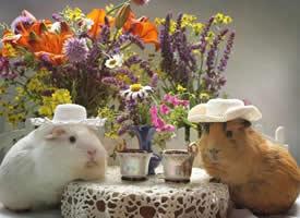 一组可爱豚鼠的艺术照图片