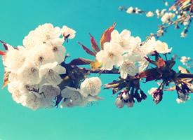 唯美浪漫樱花高清桌面壁纸
