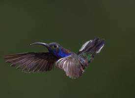 小巧灵敏的蜂鸟图片