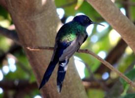 一组蓝色蜂鸟图片