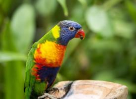 羽毛彩色的鹦鹉图片