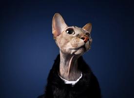 仿佛黑社会老大的样子的猫猫