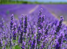 紫色薰衣草唯美风景桌面壁纸
