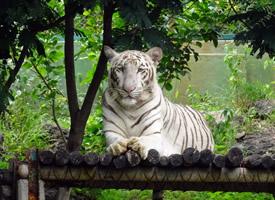 山中之王孟加拉白虎图片