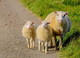 特别温顺的绵羊图片