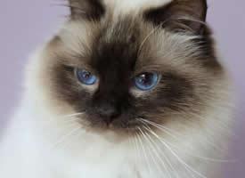 温文尔雅的伯曼猫图片