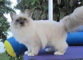 毛茸茸的伯曼猫图片