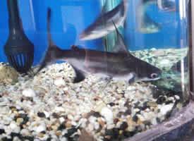 成吉思汗鱼图片