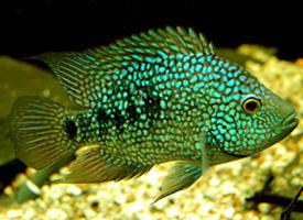 热带绿巨人鱼图片