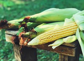 饱满颗粒的玉米田园素材图片