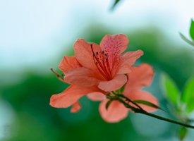 春季花卉杜鹃花图片欣赏