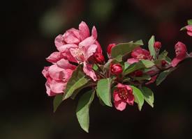 明艳好看海棠花盛开图片