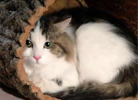 一组可爱的伯曼猫图片