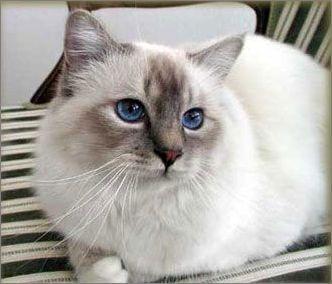 乖巧可爱的伯曼猫图片