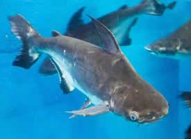 凶猛的成吉思汗鱼图片