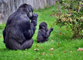 可爱有趣的黑猩猩图片