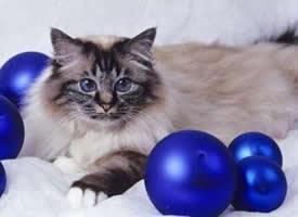 一组傲娇的伯曼猫图片