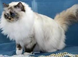 活泼俏皮的伯曼猫