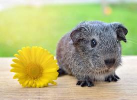 一组可爱灰色的小豚鼠图片