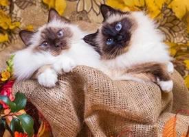 一组伯曼猫图片欣赏