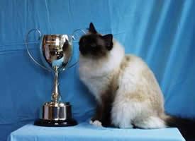 温顺可爱的伯曼猫图片