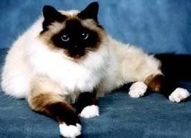 伯曼猫乖巧模样惹人爱