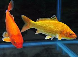漂亮的黄色锦鲤图片
