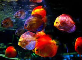 一组七彩的神仙鱼图片