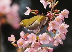 一组美丽的绣眼鸟图片