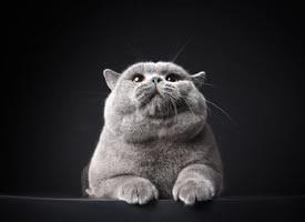 胖胖的有着双下巴的蓝猫