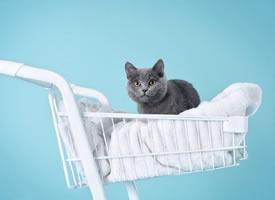 一组可爱呆萌的蓝猫图片