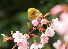 樱花树上可爱的绣眼鸟图片
