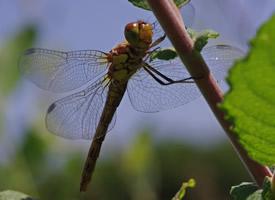 停在枝干上的蜻蜓图片