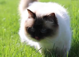 一组毛茸茸的伯曼猫图片