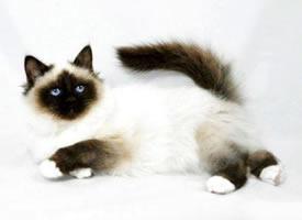 机灵活泼的伯曼猫图片