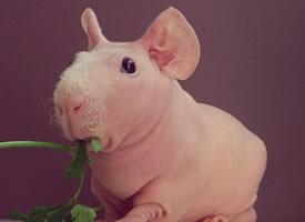 被这只荷兰猪严肃的表情给震住的