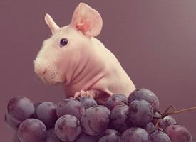 喜欢吃水果的荷兰猪图片