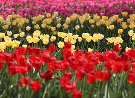 红色郁金香花海图片欣赏