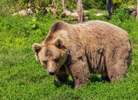 憨态可掬的棕熊图片