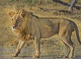森林之王凶悍的雄狮图片