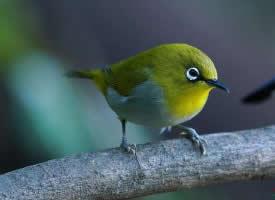 一组小小的绣眼鸟图片