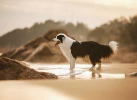 海边开心玩耍的边牧图片