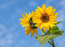 清新唯美向日葵图片桌面壁纸