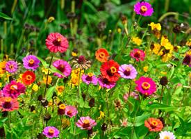 色彩缤纷的雏菊花图片欣赏