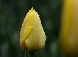 美丽的郁金香花近距离拍摄图片
