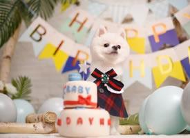 过生日的可爱博美图片