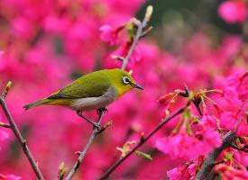 春天里的绣眼鸟图片