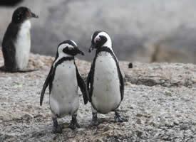 呆萌笨笨的企鹅图片欣赏