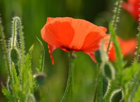娇艳唯美的罂粟花图片桌面壁纸