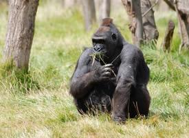 憨态可掬的大猩猩图片欣赏